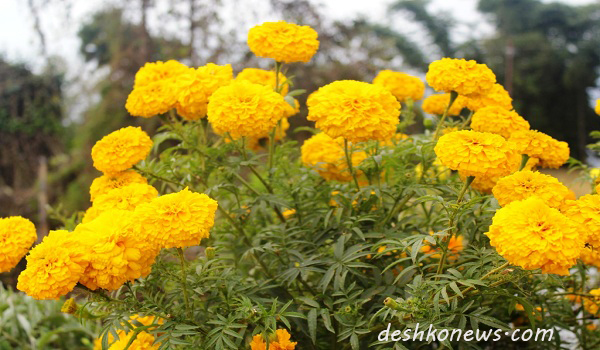 भाेजपुर सदरमुकामकाे पानीट्याङकीमा फुलेकाे सयपत्री फुल । तस्बिर : देशकाेन्युज